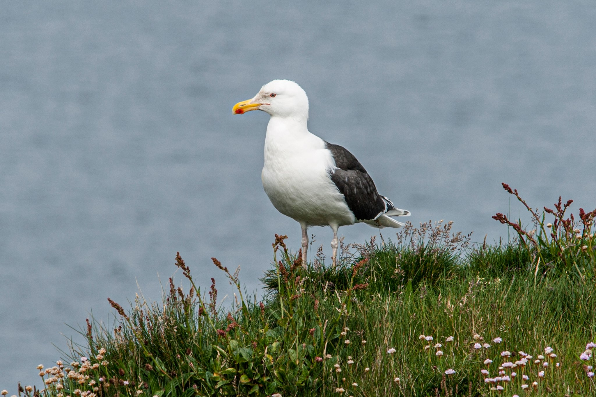 Havstrut/Greater Black-backed Gull