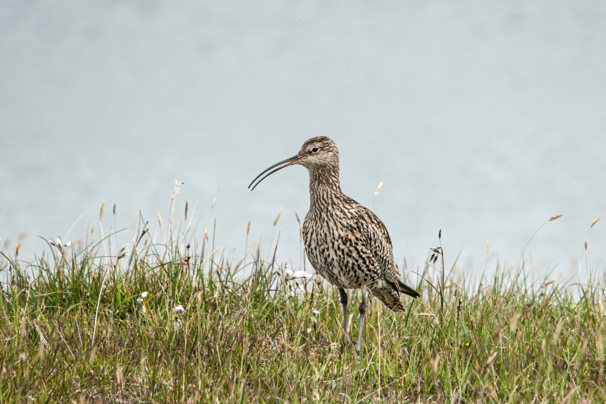 Storspov/Curlew