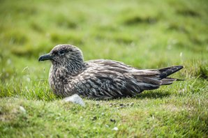 Storlabb/Great Skua